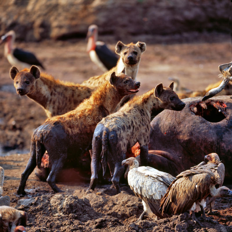 鬣狗 免版税库存图片