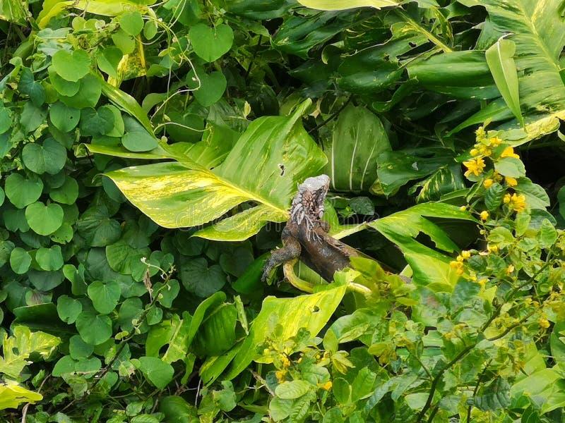 鬣鳞蜥以绿色 免版税库存照片