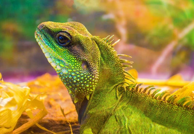 鬣鳞蜥动物野生生物 免版税库存照片