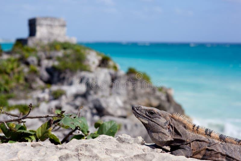 鬣鳞蜥和金字塔。 图库摄影