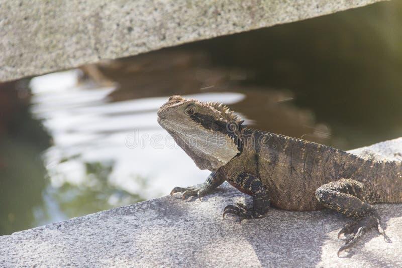 鬣鳞蜥在中国庭院里 库存照片