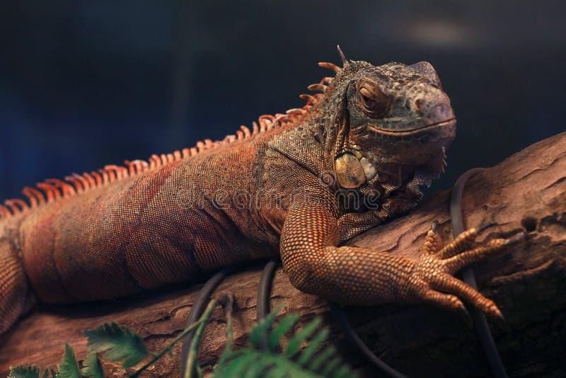 鬣鳞蜥在分支和微笑说谎 免版税图库摄影
