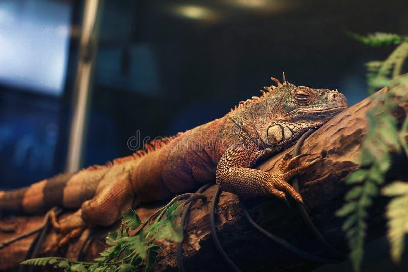 鬣鳞蜥在分支和微笑说谎 免版税库存图片