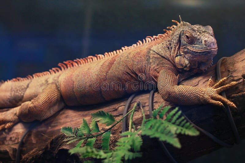 鬣鳞蜥在分支和微笑说谎 库存图片