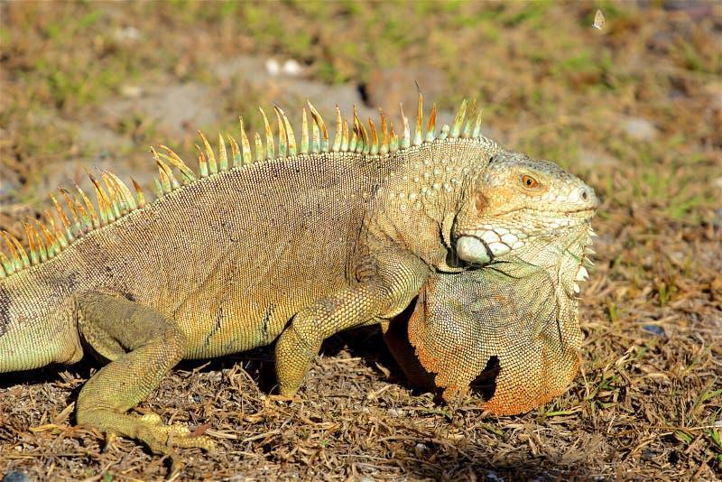 鬣鳞蜥在加勒比 免版税库存图片