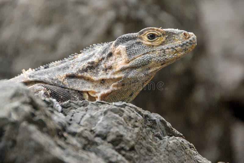 鬣鳞蜥在格斯达里加 免版税图库摄影