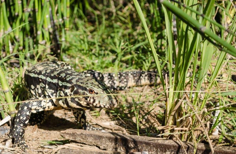 鬣鳞蜥在绿草背景的蜥蜴特写镜头 免版税库存图片