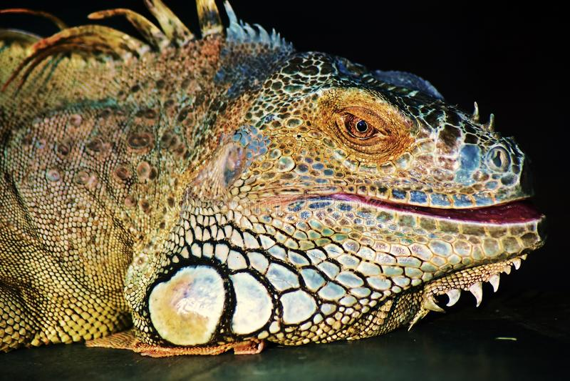 鬣鳞蜥在黑暗的背景的颜色画象 库存图片