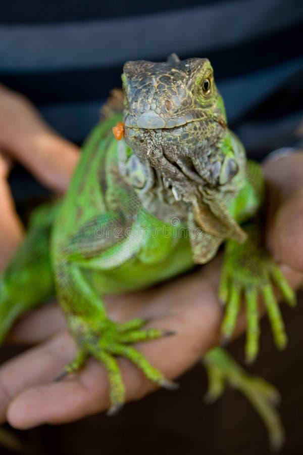 鬣鳞蜥宠物 免版税库存图片
