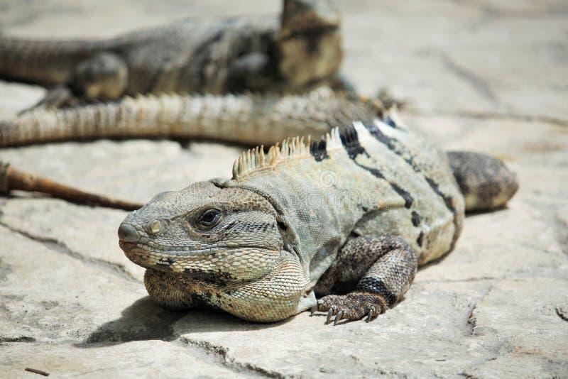 鬣鳞蜥家庭 库存照片