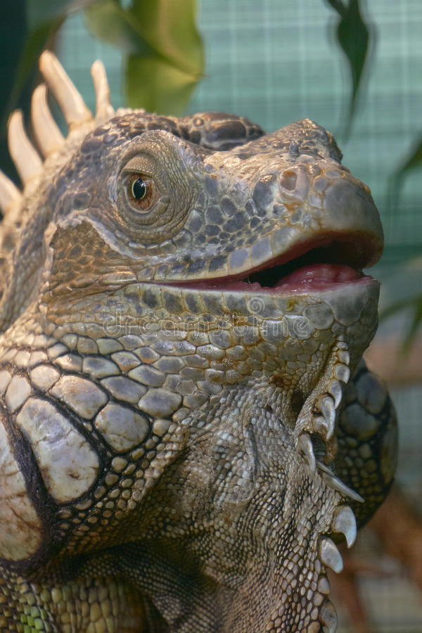 鬣鳞蜥开放嘴 库存照片
