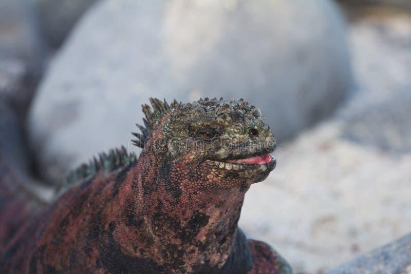 鬣鳞蜥海洋微笑 库存图片