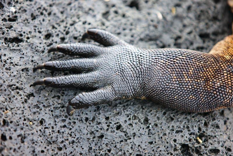 鬣鳞蜥爪子 免版税库存图片