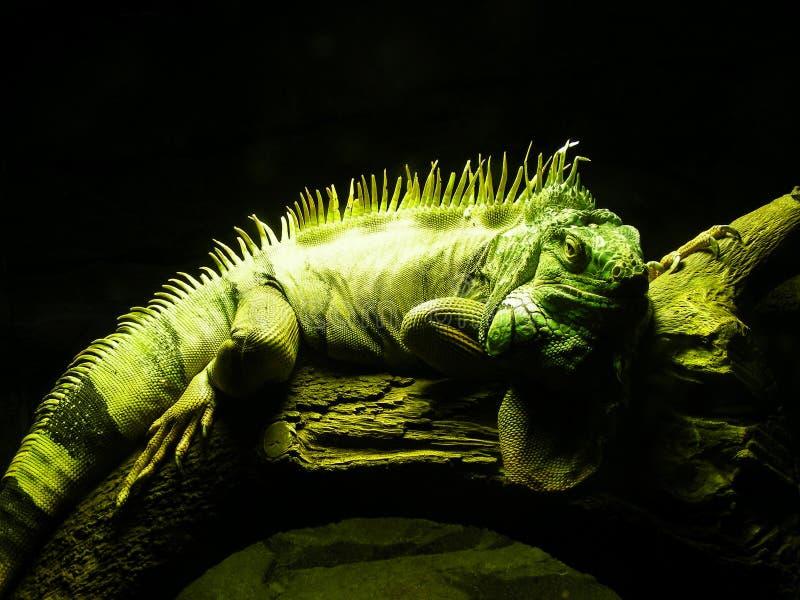 鬣鳞蜥男 库存图片