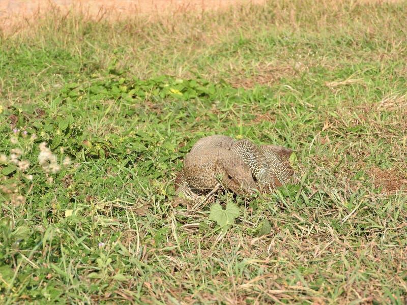 鬣鳞蜥的神色,大约,斯里兰卡自然生态环境 库存图片