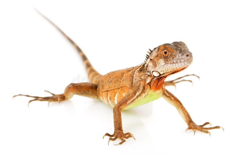鬣鳞蜥红色 库存图片