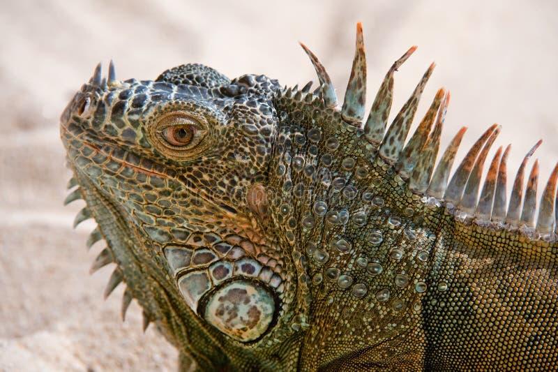 鬣鳞蜥纵向 免版税库存照片