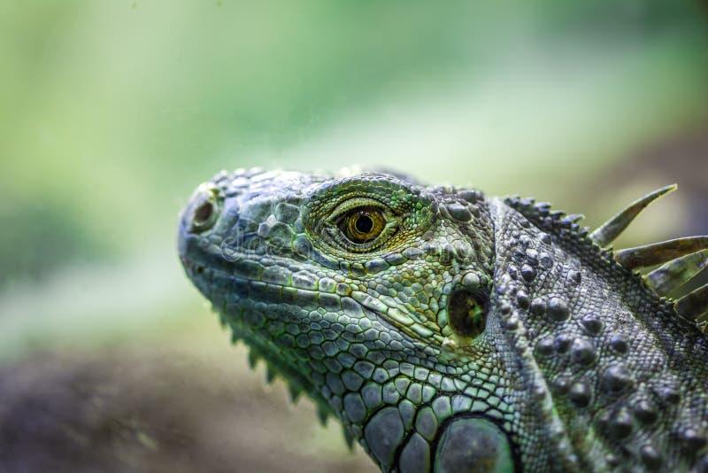 鬣鳞蜥蜥蜴画象-在被弄脏的背景的极端特写镜头 免版税库存照片