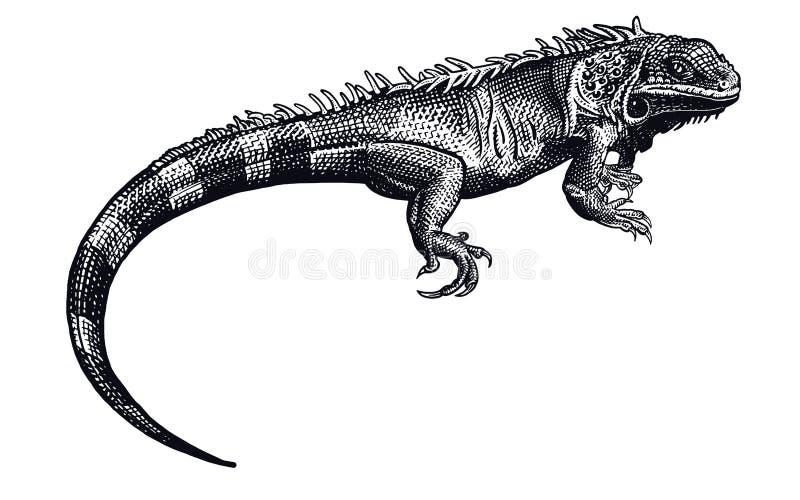鬣鳞蜥 黑白爬行动物 查出的蜥蜴 向量例证