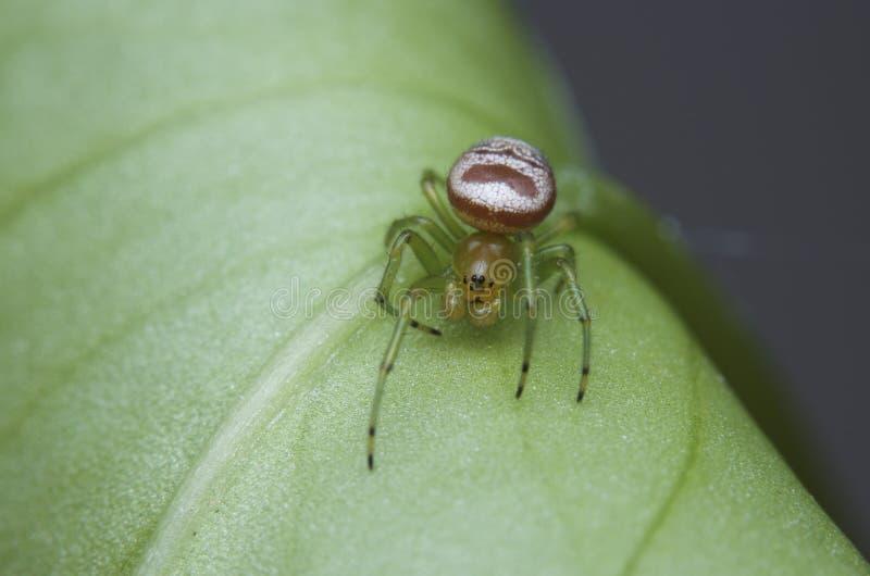 鬼魂蜘蛛 库存图片