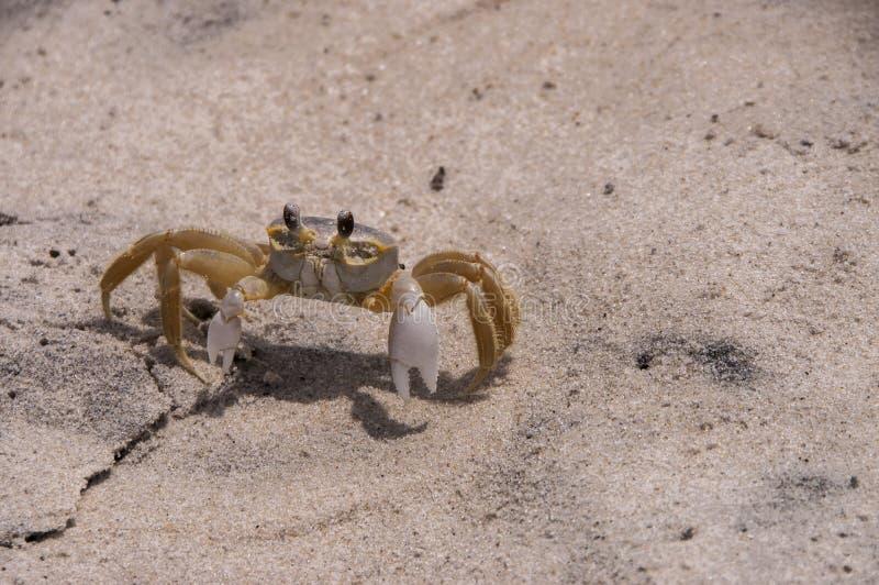 鬼魂螃蟹 免版税库存照片