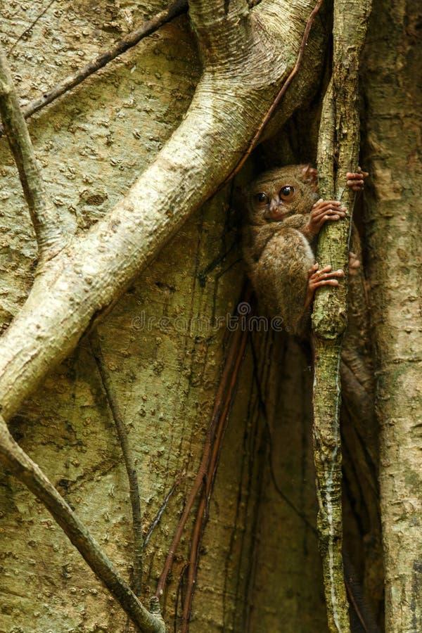 鬼Tarsier,Tarsius光谱,罕见的地方性夜的哺乳动物画象,大榕属树的小逗人喜爱的大主教在密林, 库存照片