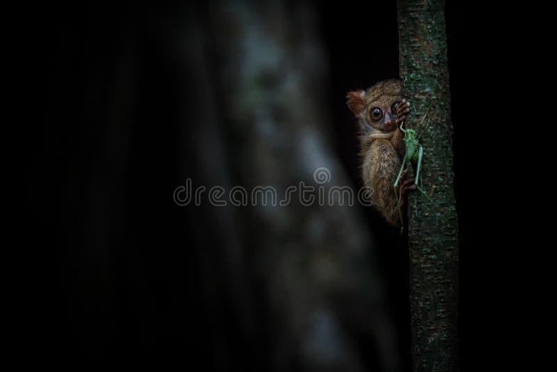 鬼Tarsier,Tarsius,设法罕见的地方性夜的哺乳动物画象捉住和吃蚂蚱,大的逗人喜爱的大主教 库存照片