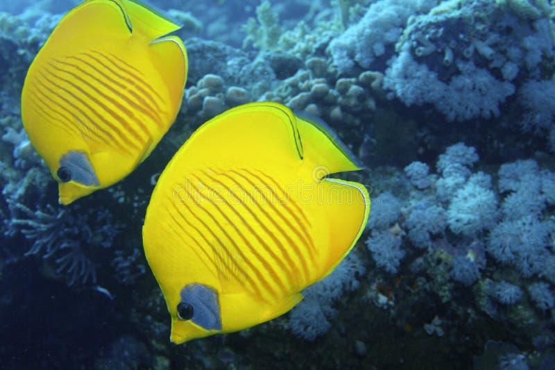鱼二黄色 免版税库存照片