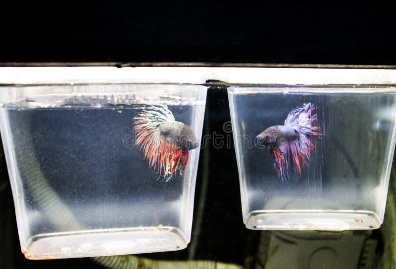 鱼品种公鸡 免版税库存图片