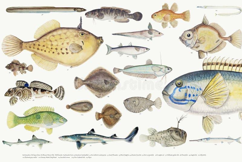 鱼图画汇集的色的传染媒介例证 皇族释放例证