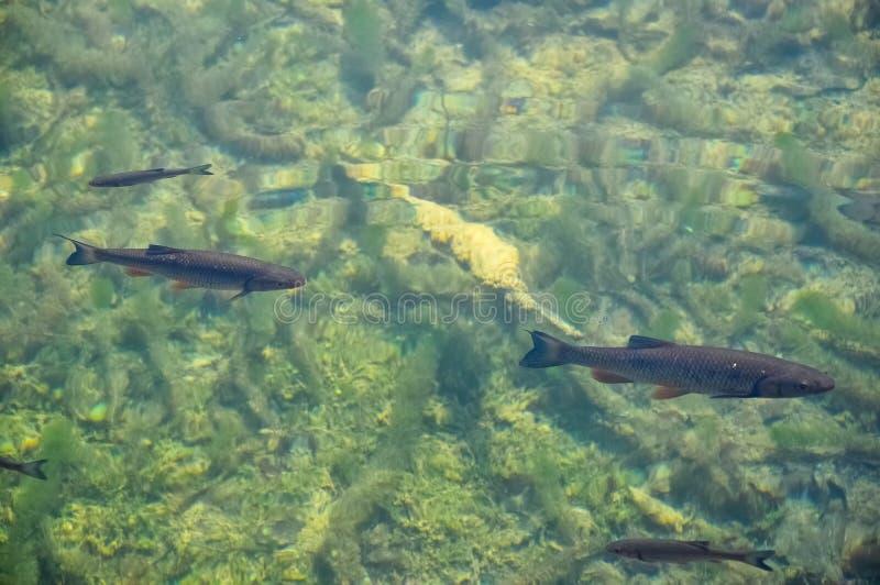 鱼在从上面看见的透明的水中 库存照片