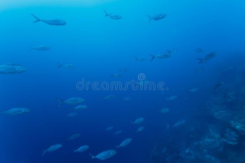 鱼学校在加勒比明亮的大海的珊瑚礁游泳  库存图片