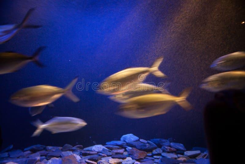 鱼学校在运动的。 免版税库存图片