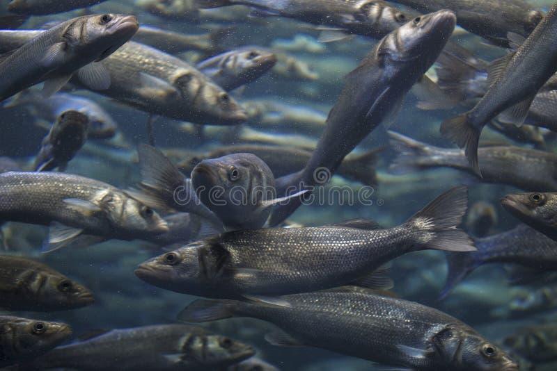 鱼学校浅滩在蓝色海洋 免版税库存照片
