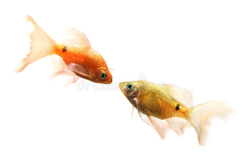 鱼对 库存照片