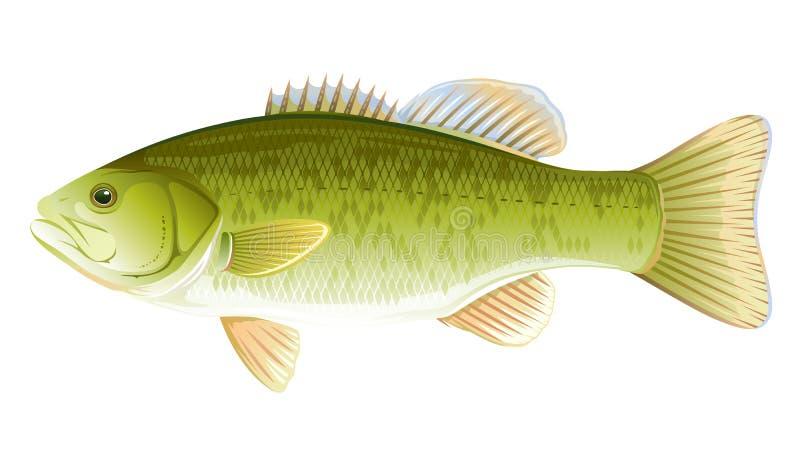 鱼小口黑鲈 皇族释放例证
