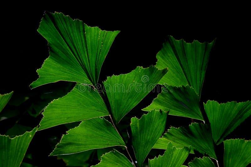 鱼尾棕榈树绿色叶子  免版税库存照片