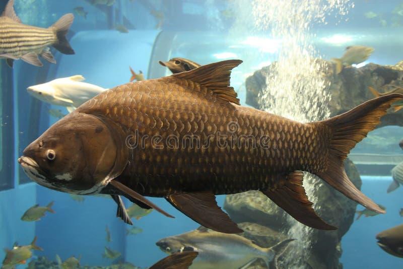 鱼巨人 免版税库存照片
