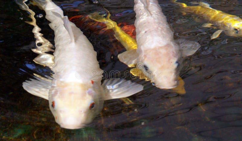 鱼往您的koi游泳 库存照片