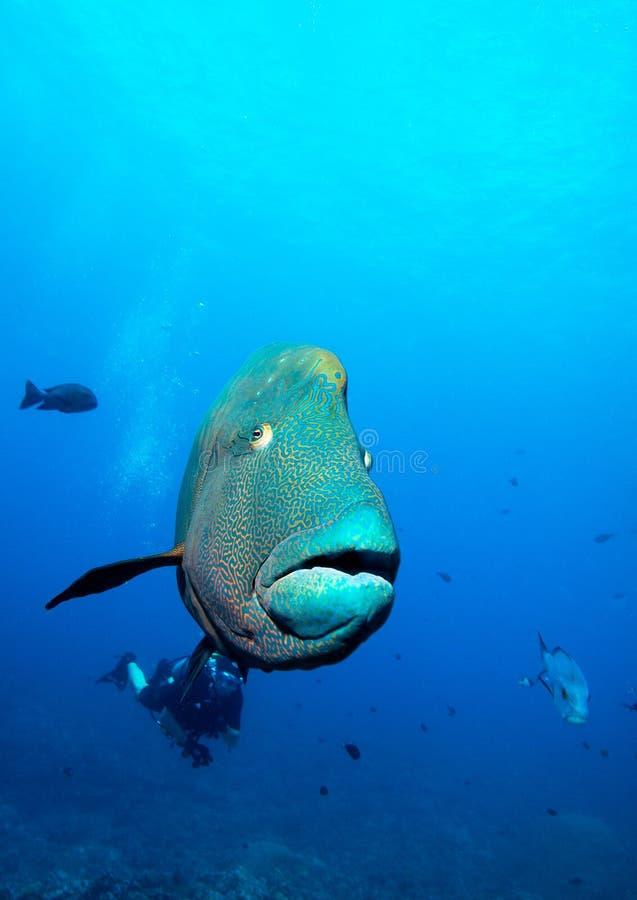 鱼拿破仑红海 免版税库存图片