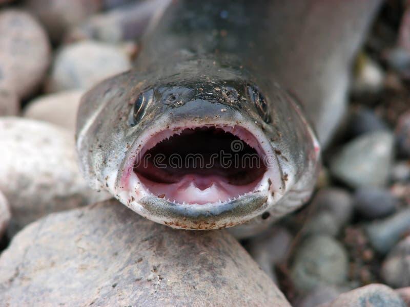 鱼掠食性石头 免版税库存照片