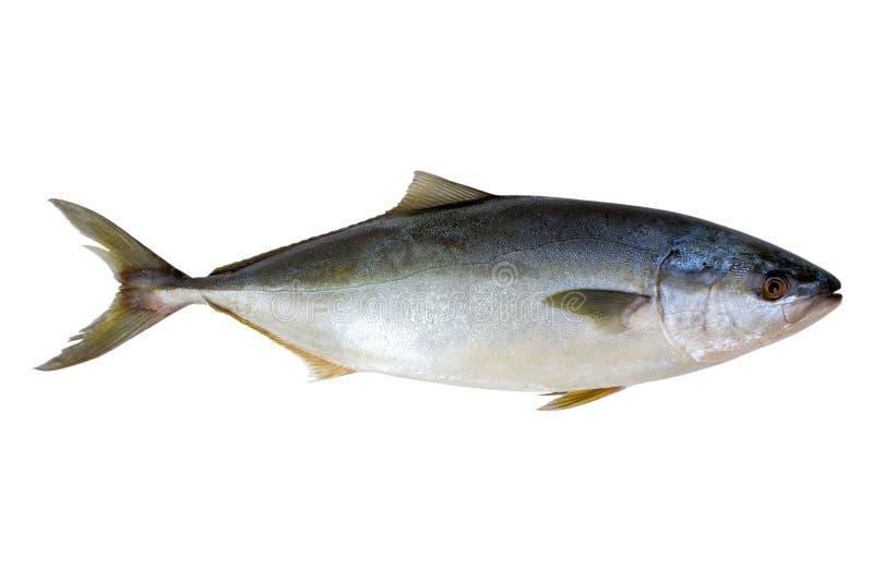 鱼新鲜的查出的金枪鱼 库存照片