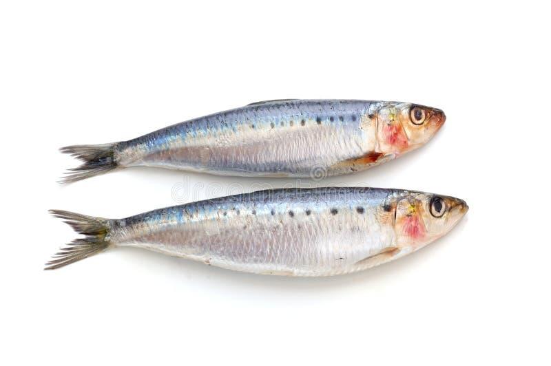 鱼新鲜的沙丁鱼 库存照片