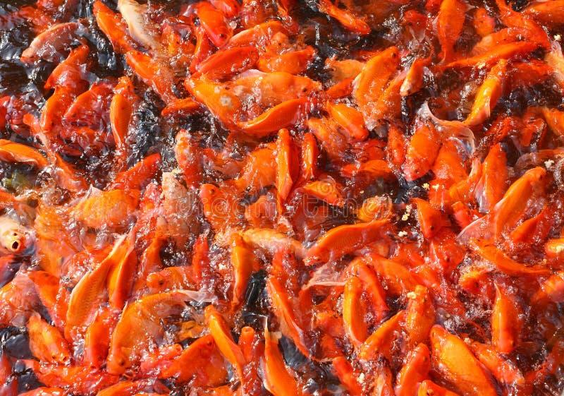 鱼日本koi池塘 免版税库存照片