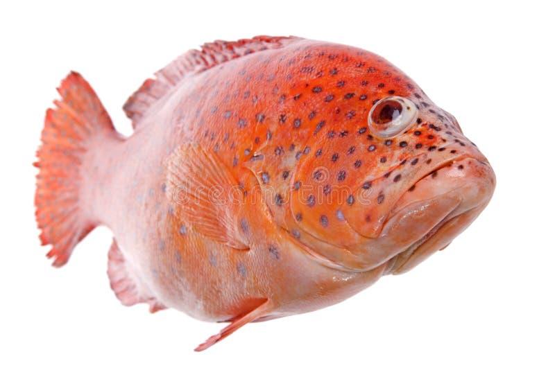 鱼查出的红色罗非鱼 免版税库存照片