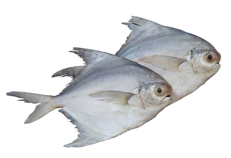 鱼查出的pomphret白色 免版税库存图片