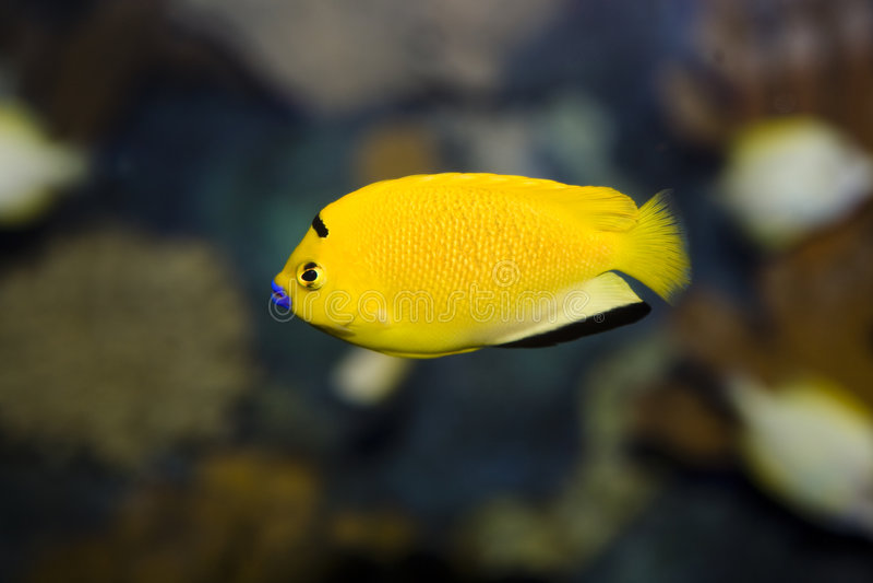 鱼海运黄色 库存图片