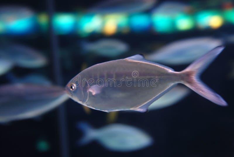 鱼灰色坦克 免版税图库摄影