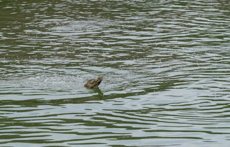 鱼的泽鳄Feeing在Ranthambhore国立公园 图库摄影