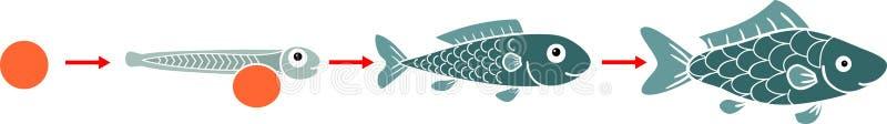 鱼的生命周期 鱼的发展阶段序列从蛋獐鹿的到成人动物 向量例证